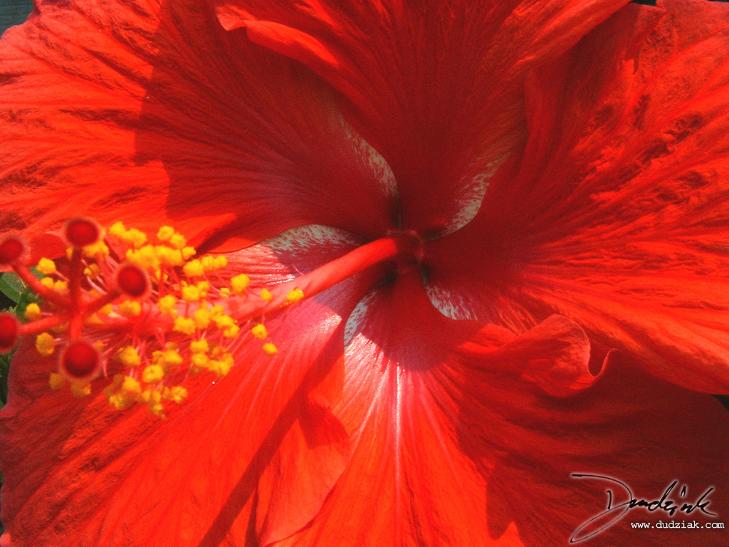 Picture of a bright red flower.